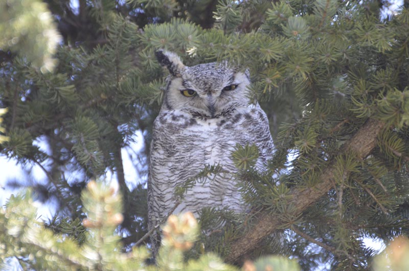 Gray owl in pine tree.