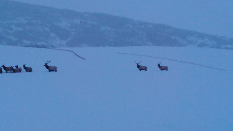 Elk wintering in field.